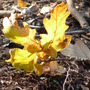 Symbol of Autumn (Quercus robur (English oak))