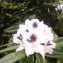 rhodie sappho (rhododendron)