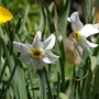 A garden flower photo (Narcissus poeticus (Daffodil Tamar Double))