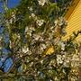 A garden flower photo (Prunus cerasus (Cherry))