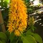 Justicia aurea - Yellow Jacobinia