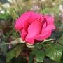 Rosa_prima_ballerina_