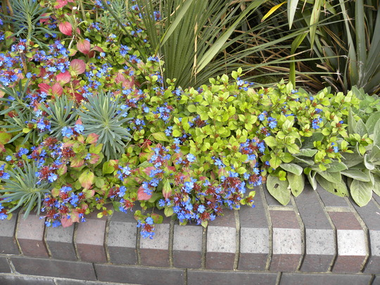 lovely blue flowers in London called  Ceratostigma (Sept. 2010)
