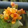 Honeysuckle lonicera 'Golden Trumpet' (Honeysuckle lonicera x brownii ' Golden Trumpet ')