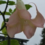 Another different view.... (Brugmansia suaveolens (Maikoa))