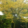 AUTUMN COLOUR FROM THE GLEDITSIA
