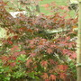 ACER IN AUTUMN
