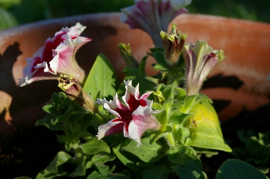 A garden flower photo (Petunia)