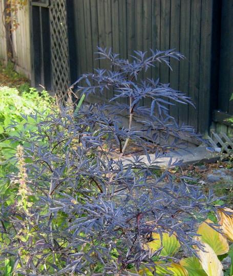 Sambucas Black Lace (Sambucas nigra)