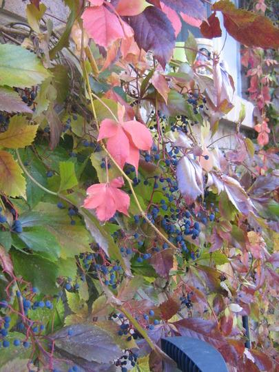 Virginia Creeper turning colour...berries lustrous.