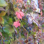 Virginia Creeper turning colour...berries lustrous.