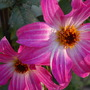 Dahlia 'Water Lily'