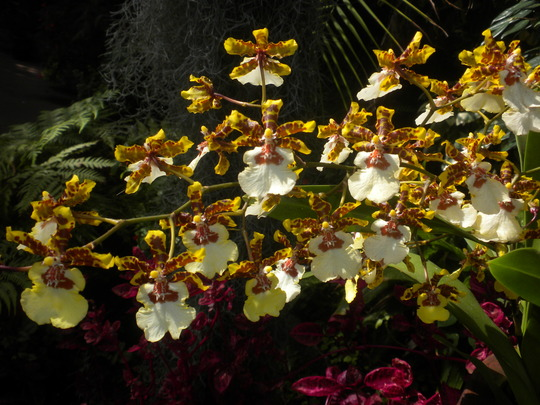 Oncidium Orchid (Oncidium Orchid)