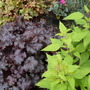 Heuchera_apple_sage