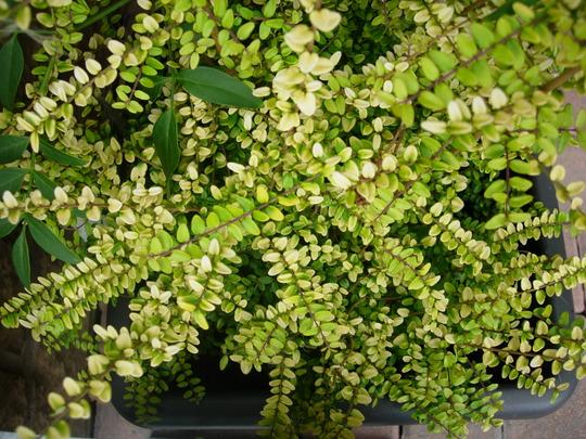 Lonicera_Baggsen_s_Gold.jpg (Lonicera nitida (Shrubby honeysuckle))