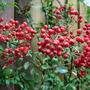 Pyracantha_Berries.jpg (Pyracanthus Watereri)