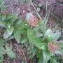Viburnum (tinus)