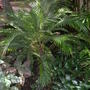 Lytocaryum weddellianum - Miniature Coconut Palm (Lytocaryum weddellianum - Miniature Coconut Palm)