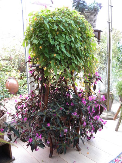 Who knows what this plant is called please? Not the begonia, but the other one, with the purple flowers.