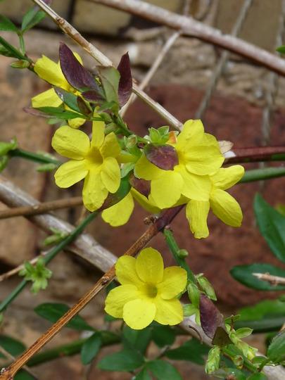 Winter Jasmine (Jasminum nudiflorum (Winter jasmine))