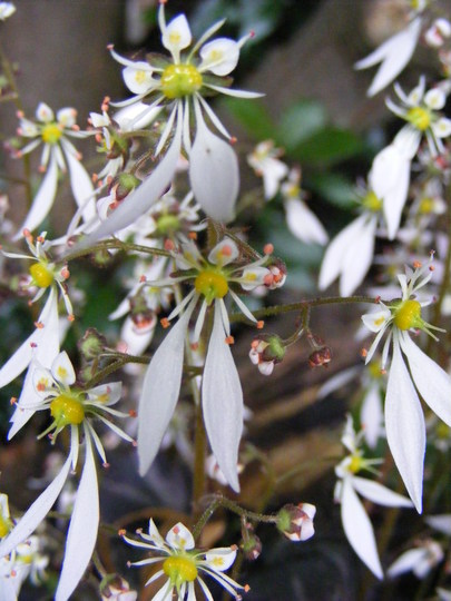 saxifraga fortunei 'Silver Velvet' close up of flowers