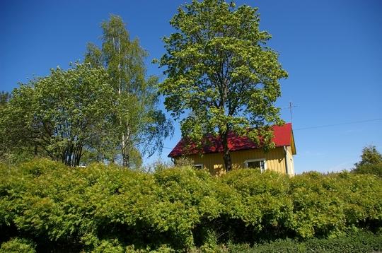 A garden flower photo (Acer pseudoplatanus)