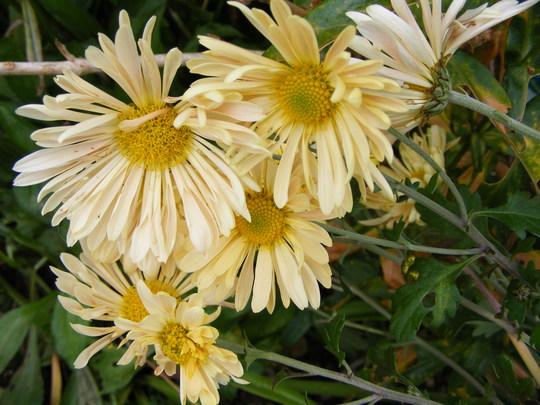 Chrysanthemum 'Mary'