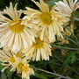 Chrysanthemum 'Mary'