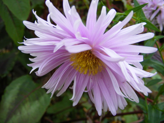 another unknown Aster