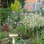 lavatera still flowering near the salix tree