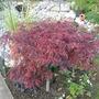 acer palmatum disectum var.Inaba shidare (acer palmatum disectum var. inaba shidare)
