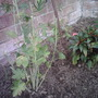 Checkerbloom (Sidalcea)