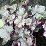 HEUCHERA MIDNIGHT ROSE (Heuchera sanguinea (Coral Bells))