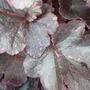 HEUCHERA MIDNIGHT ROSE close up (Heuchera sanguinea (Coral Bells))