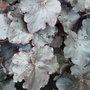 HEUCHERA OBSIDIAN (Heuchera sanguinea (Coral Bells))