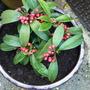 A garden flower photo (Skimmia japonica (Skimmia))