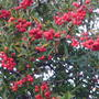 PYRACANTHA RED BERRIES (Pyracantha angustifolia (Fire Thorn))