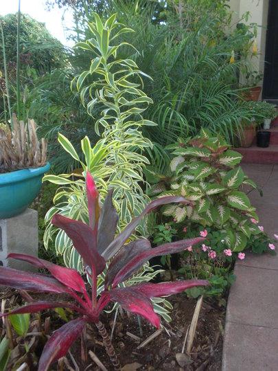 Ti Leaf Plant, Dracaena reflexa - Song of India in my front yard (Ti Leaf Plant, Dracaena reflexa - Song of Indi)
