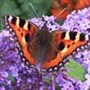 My Tortoiseshell butterfly picture