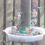 """My """"happy"""" Goldfinches....."""