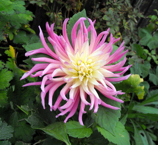 "My 1 & Only Dahlia ""Cactus Stars Favourite"""