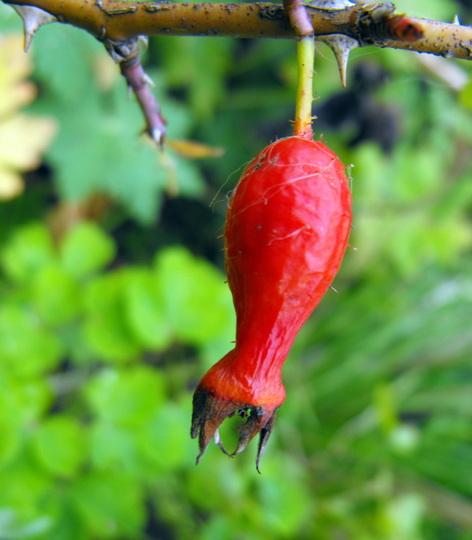 The Hip :) (Shrub Rose Moyes Geranium)