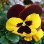 Bright pansy (Viola wittrockiana)