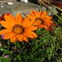Gazania still kicking out