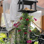 """Bird Table With Clematis """"Rouge Cardinal""""Growing Up It"""