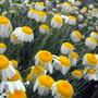 Golden Marguerite Going To Seed :) (Anthemis tinctoria (Golden marguerite))