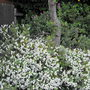 White Hebe Beneth My Pear Tree