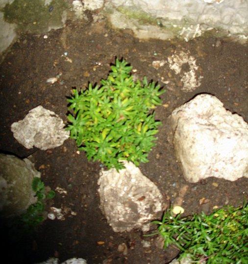 MIXED PLANTS FOR ROCKERY