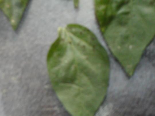 whats eatting my chilli plants