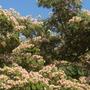 Albizia julibrissin - Silk Tree (Albizia julibrissin - Silk Tree)